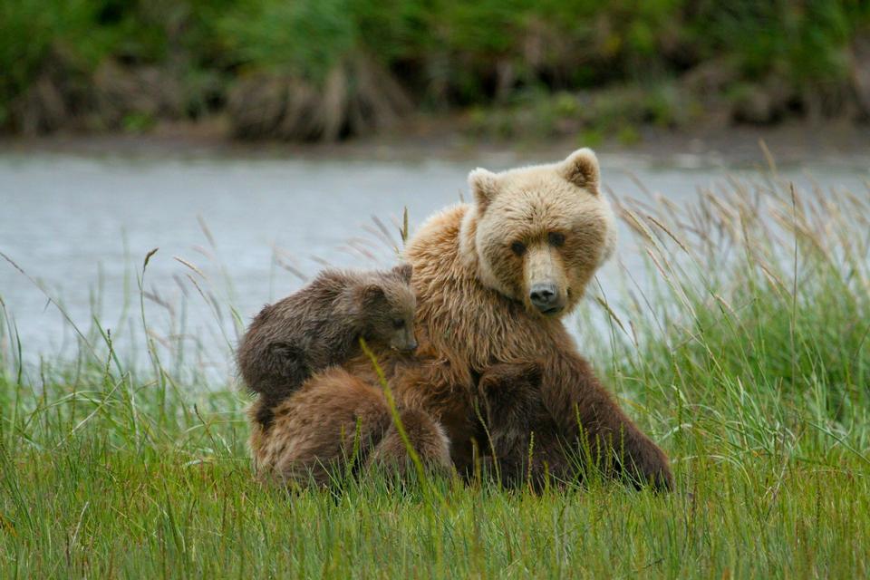 Free Coastal Brown Bear Sow and Triplets