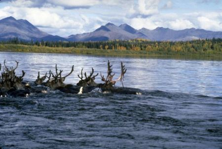 Free Big hooves Swimming the Kobuk National Park
