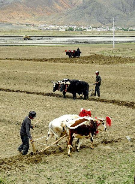 Free Sherpa Farmer Plowing Fields