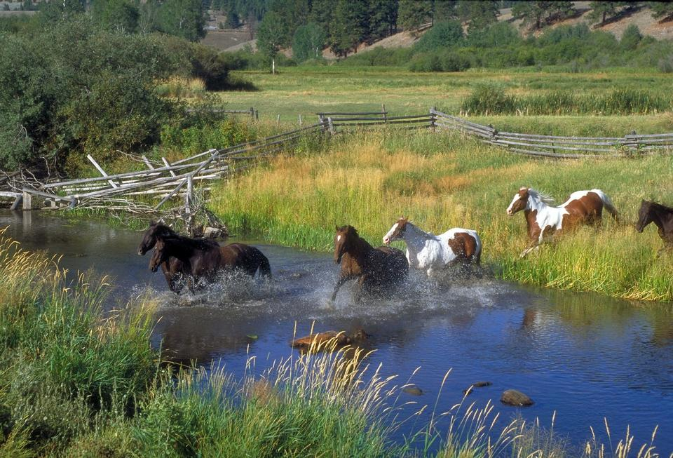 Free running horses and the river