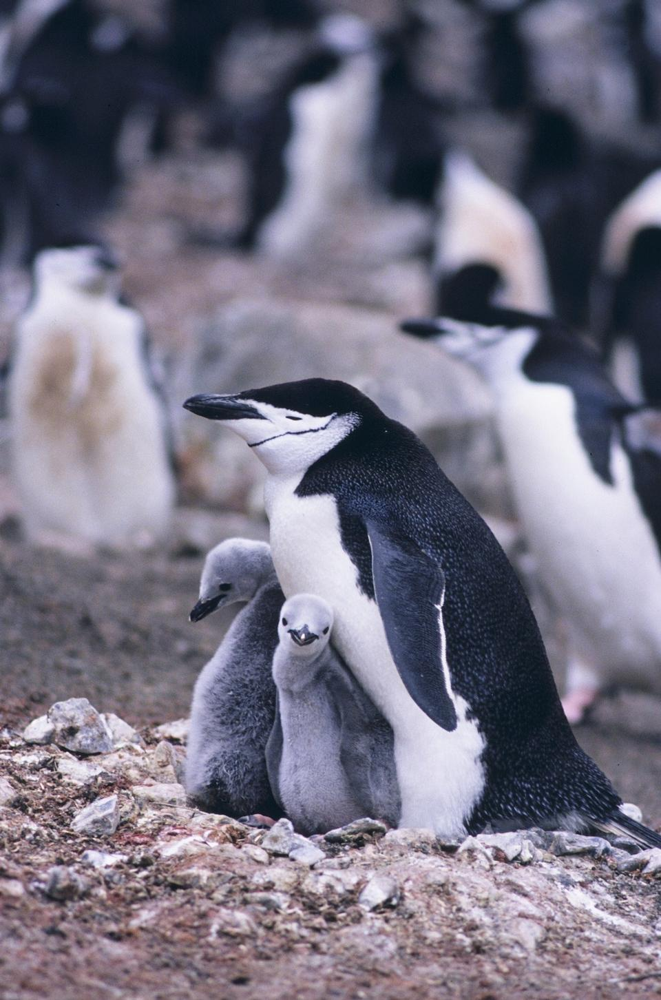 Free Penguin Mother and her two Children in Antarctica