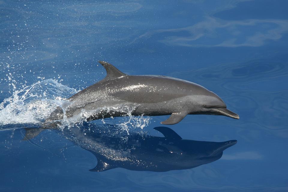 Free Bottlenose Dolphin