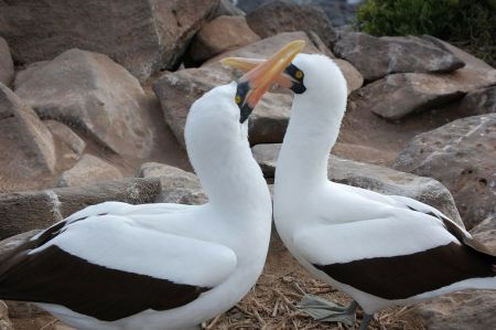 Free Pair of Nazca Booby Allopreening