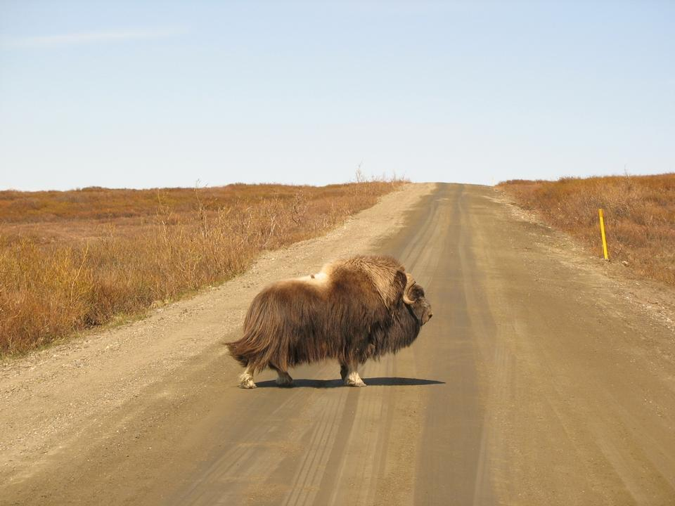 Free Photos: A musk ox crossing the road | Jurassic