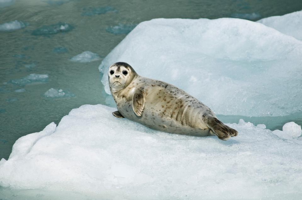 Free a harbor seal  resting on an ice