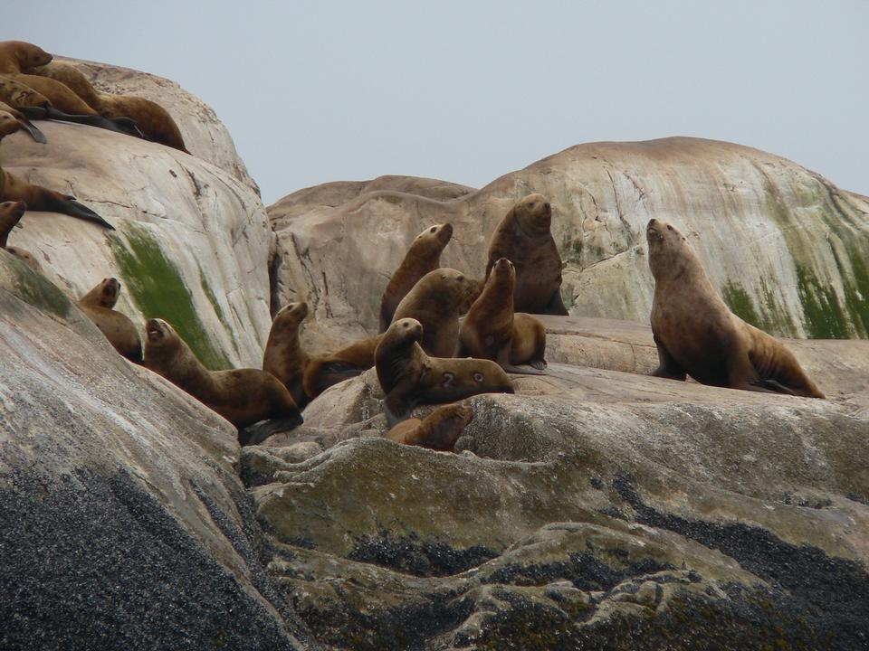 Free Steller sea lions on South Marble Island