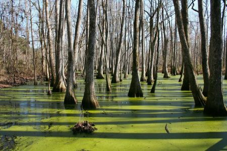 Free cypress trees and knees in a swamp