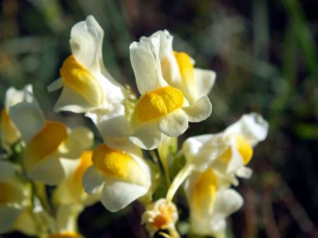Free Yellow Toadflax wildflower