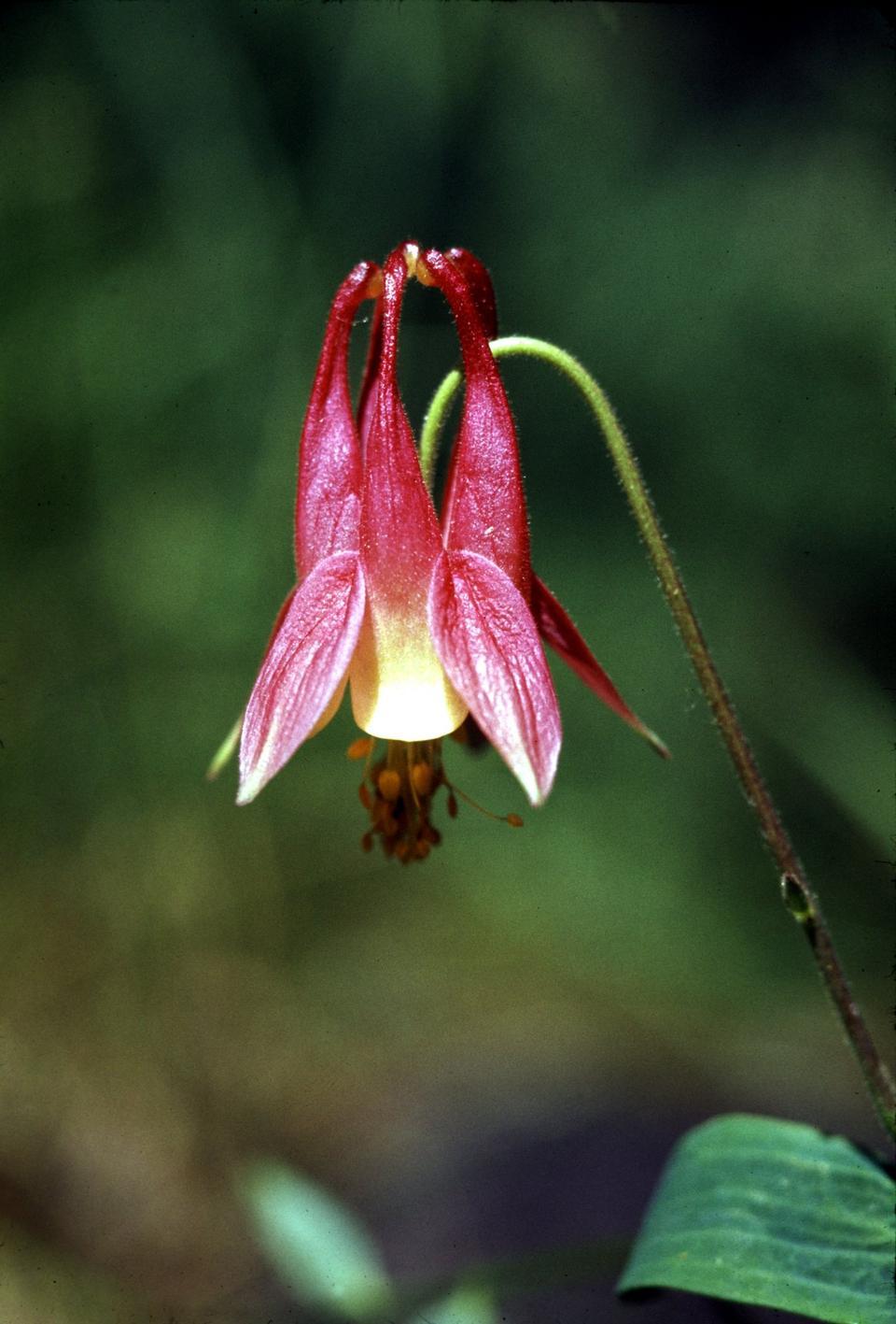 Free Wild Columbine wildflower