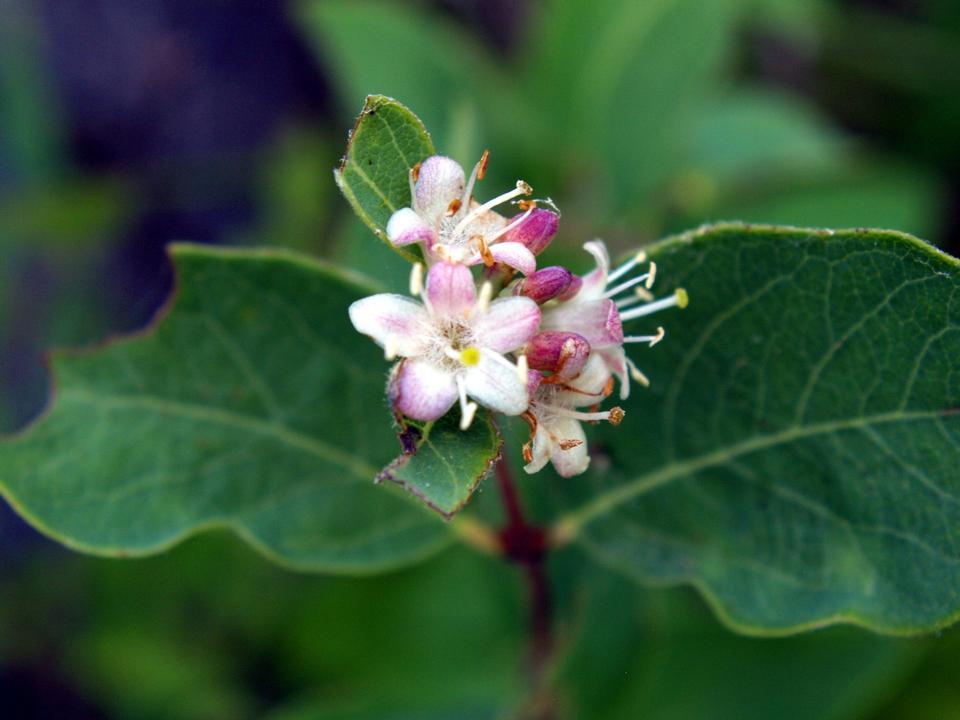 Free Photos: Spreading Dogbane wildflower | sanyuhwa