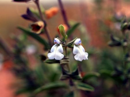 Free Marsh Skullcap wildflower