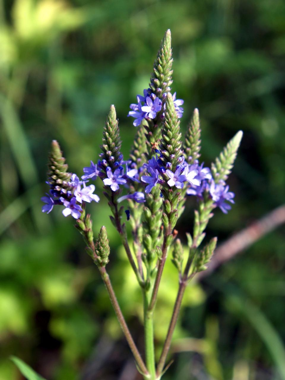 Free Blue Vervain
