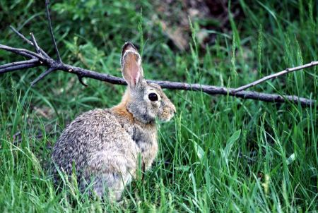 Free Eastern Cottontail in Green Grass