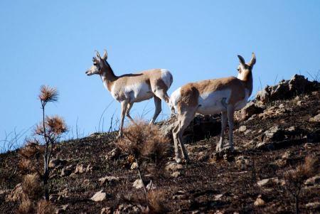 Free Montana Pronghorn Antelope Buck