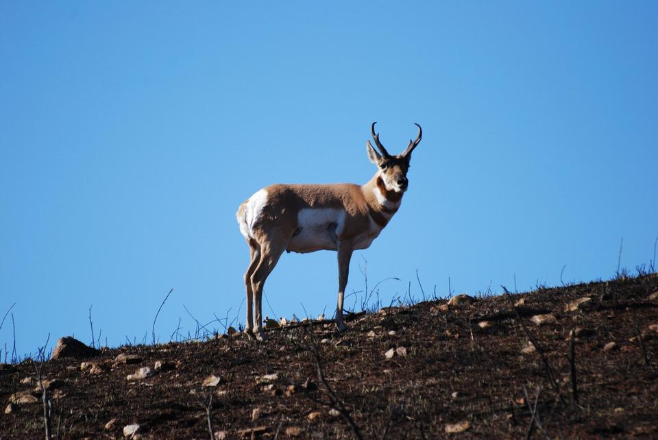 Free Male Pronghorn
