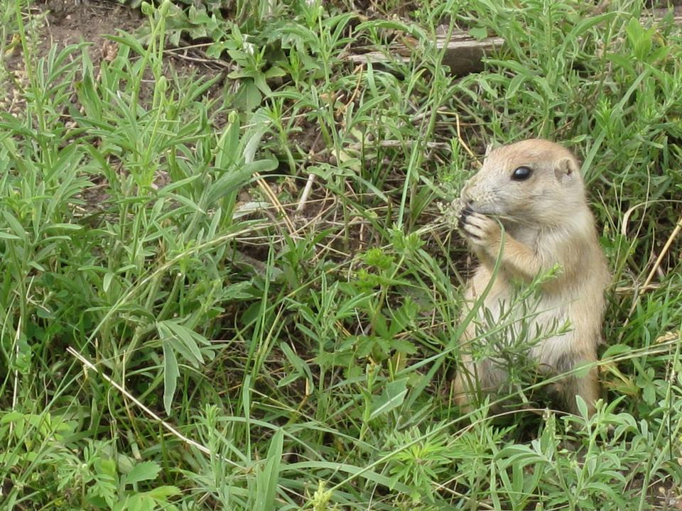 Free prairie dog eating