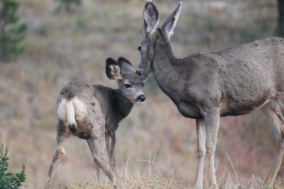 Free Mule Deer and young