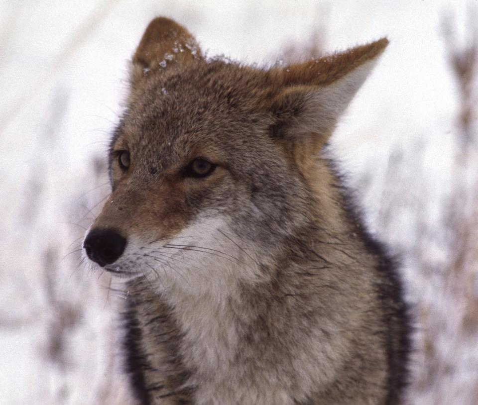 Free face of coyote