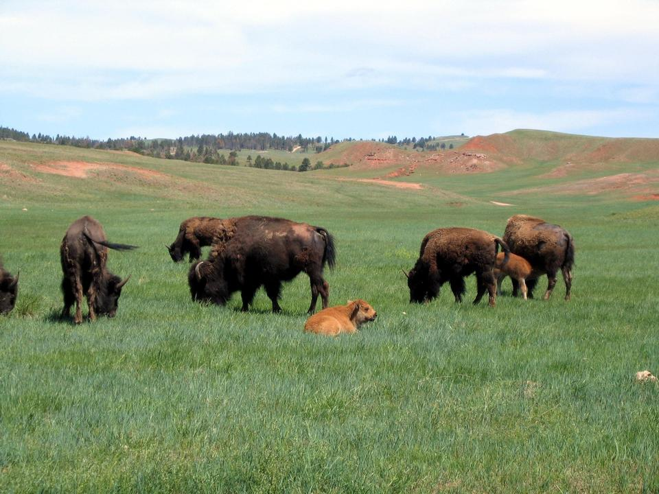 Free Bison herd in spring with calf