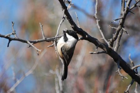Free Black-capped Chickadee