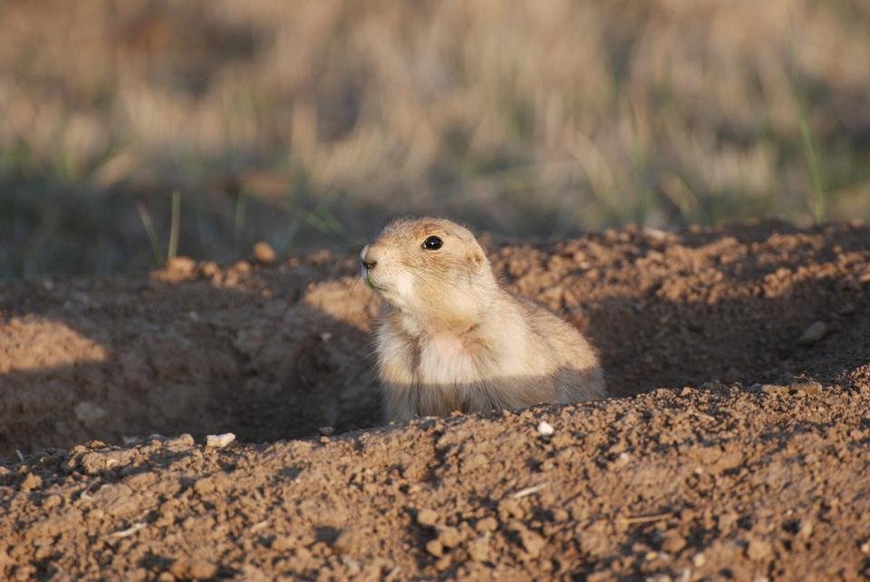 Free Prairie Dog sticking out from a burrow