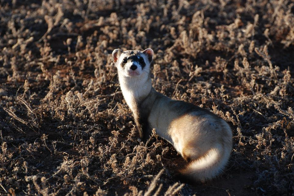 Free Black-footed Ferret