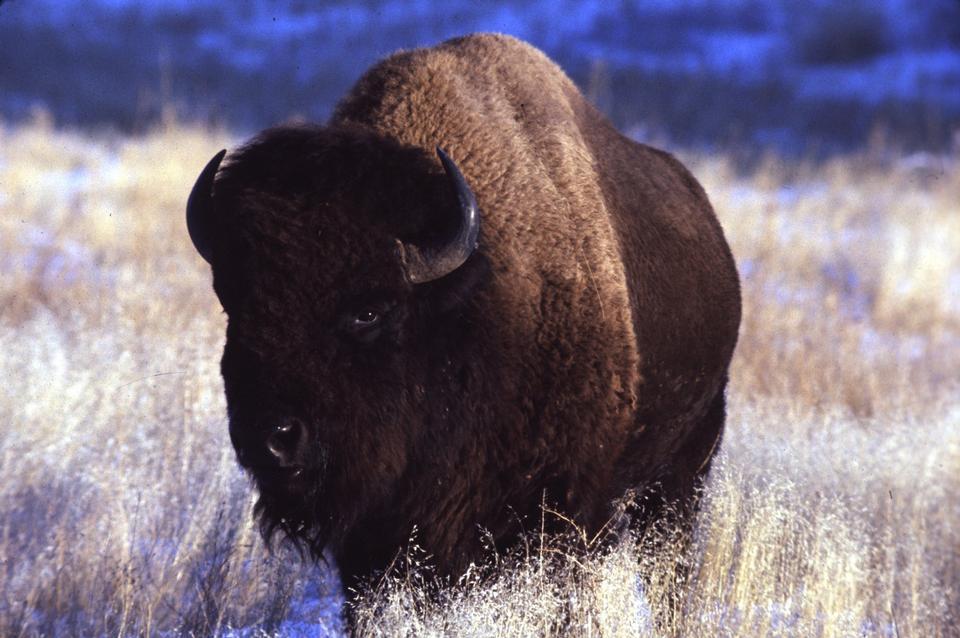 Free American bison bull - buffalo
