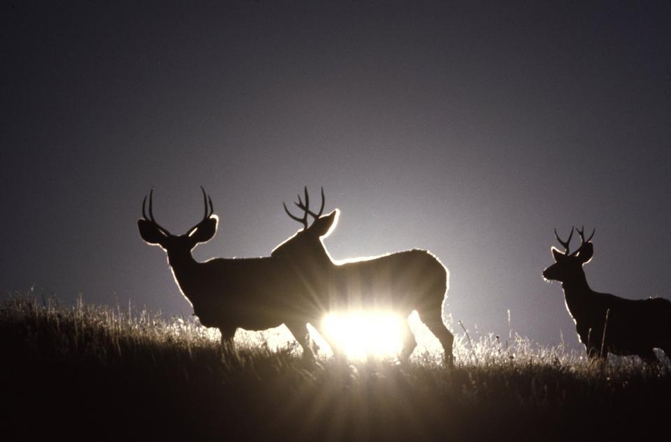 Free Sunlight behind Mule Deer