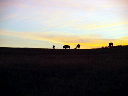 Free Bison at Sunrise
