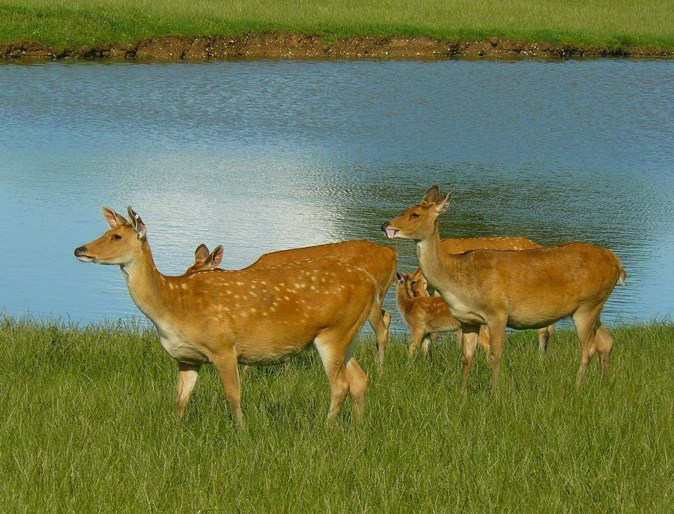 Free herd deer eating grass