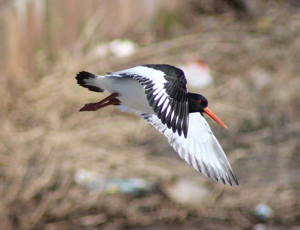 Free Oystercatcher in flight against a blue sky