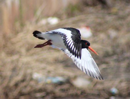 Free Oystercatcher in flight against a blue sky