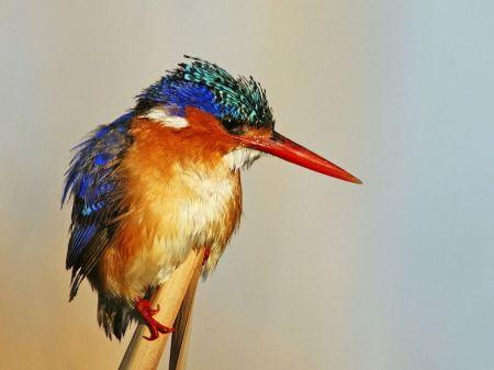 Free Malachite kingfisher