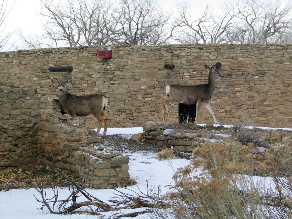 Free Deer in Aztec Ruins