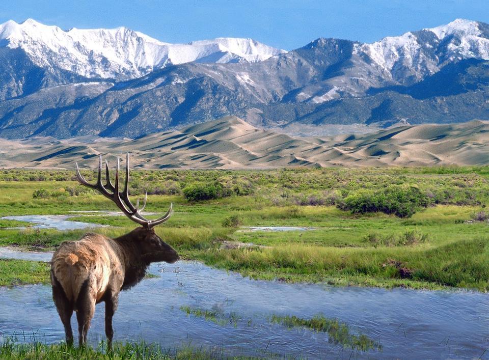 Free Elk at Big Spring Creek Great Sand Dunes National Park