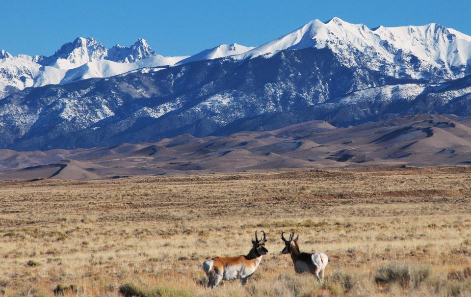 Free Pronghorn in Grasslands with Dunes and Crestones