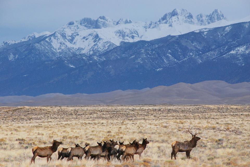 Free Elk Herd, Dunes, and Crestone Peaks