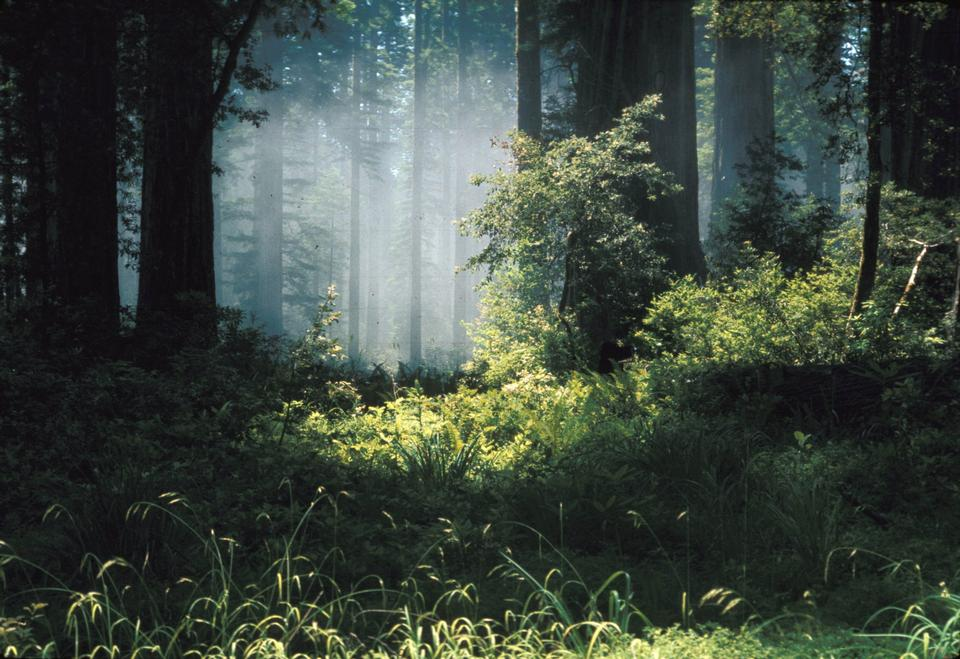 Free Fog in Ancient Coast Redwood Forest