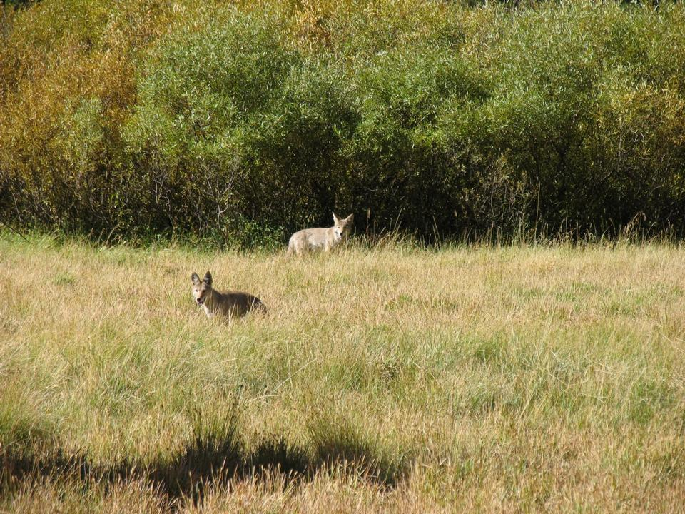 Free Coyotes in Soda Springs Meadow