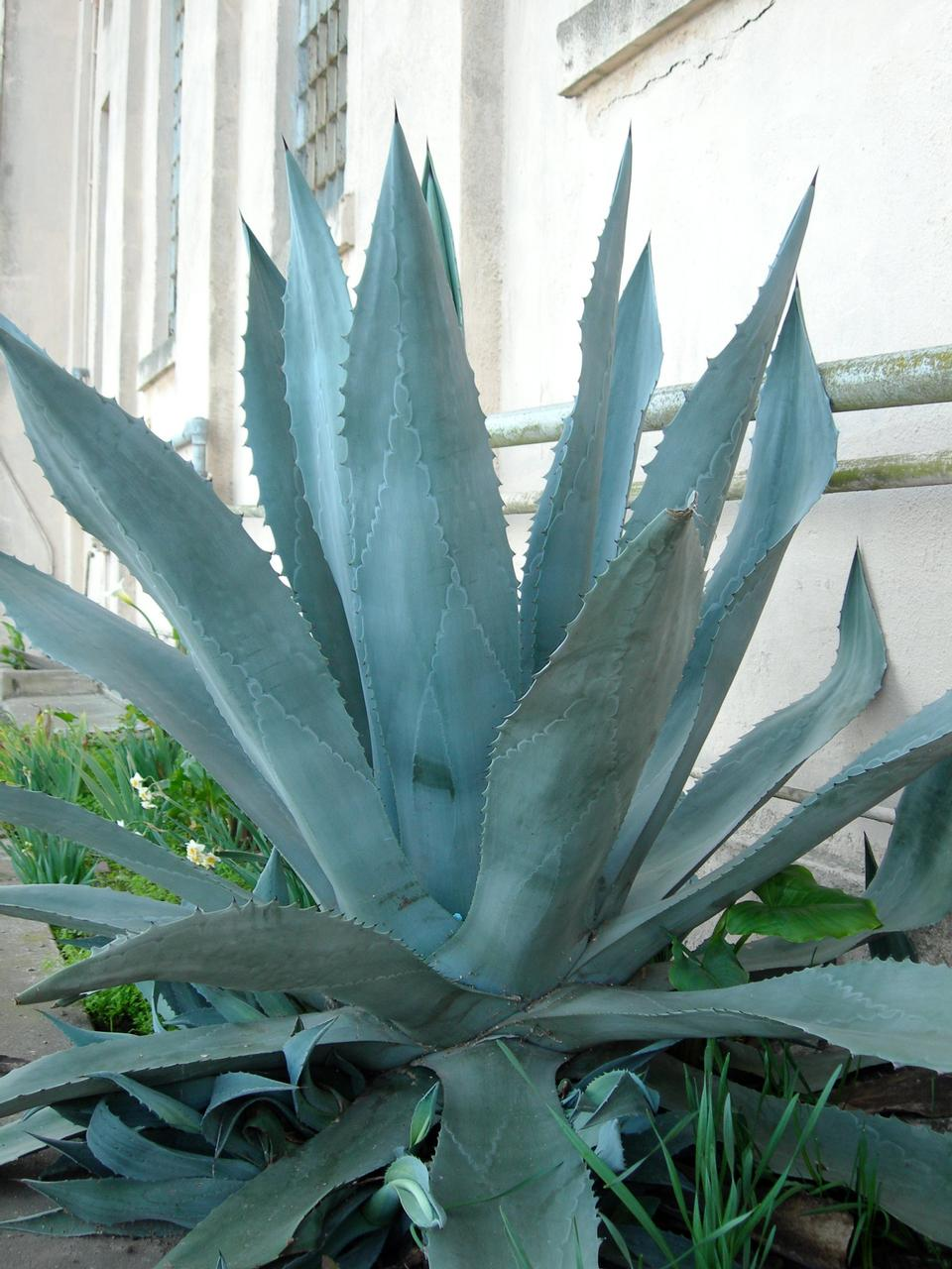 Free Century plant - Agave americana