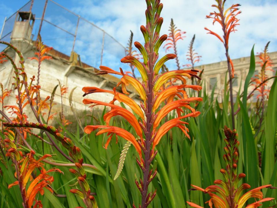 Free Cobra lily, Pennants - Chasmanthe floribunda