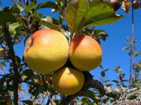 Free Apple - Malus species