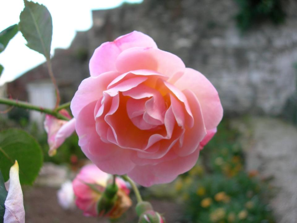 Free Rose - Rosa Rostock