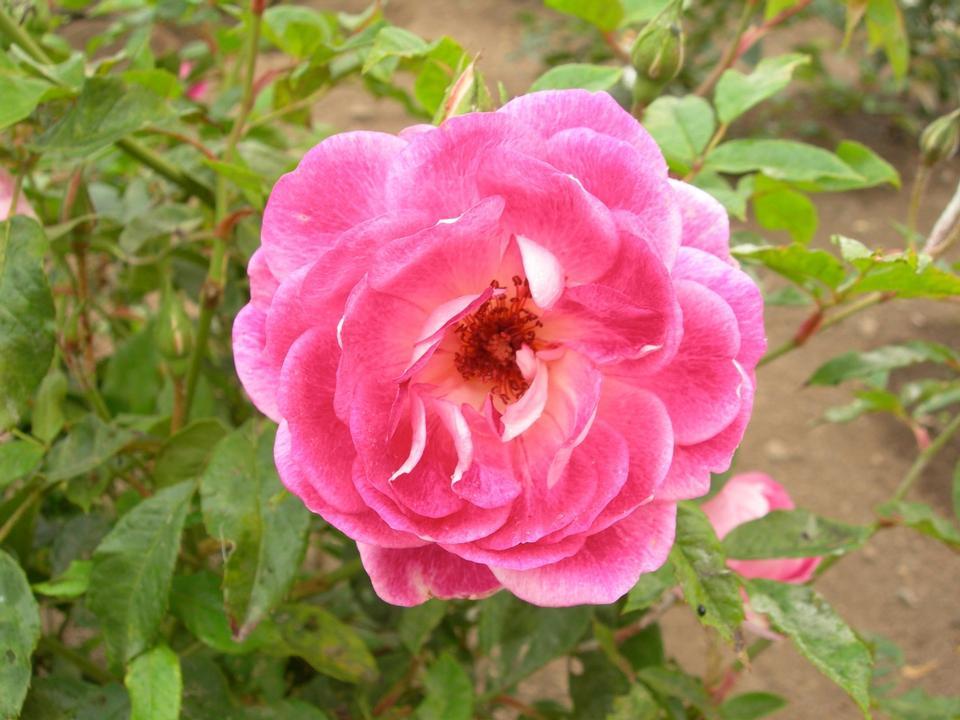 Free Rose - Rosa Brilliant Pink Iceberg