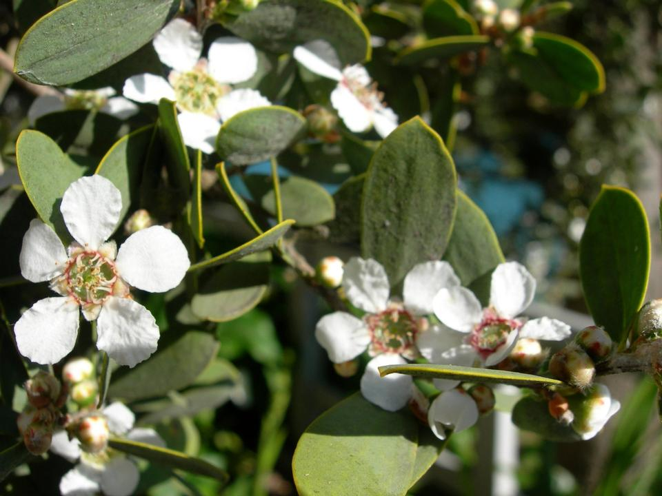 Free Australian tea tree - Leptospermum laevigatum