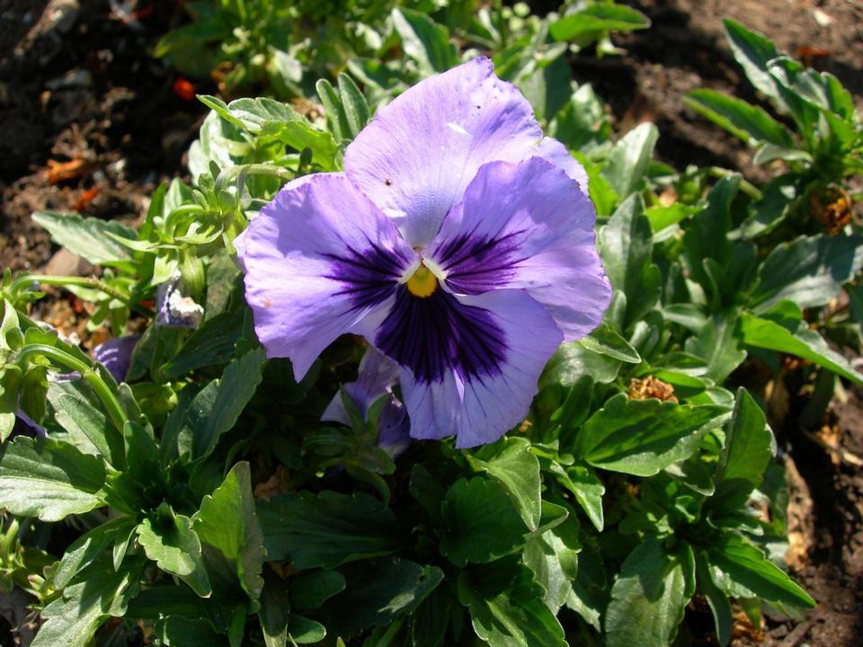 Free Pansy Viola x wittrockiana