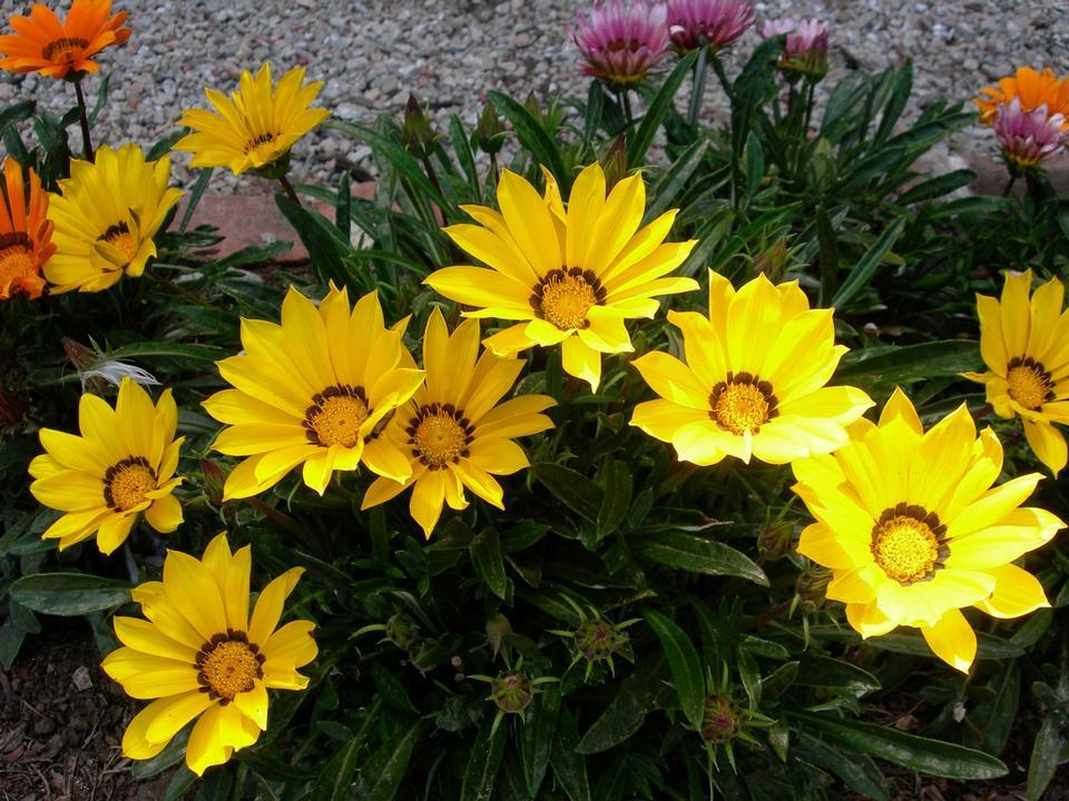 Free Treasure Flower Gazania rigens
