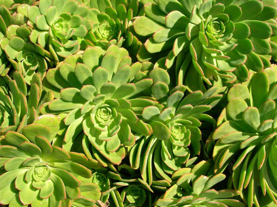 Free Hens and Chicks Aeonium species