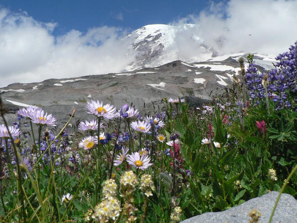 Free Mount Rainier and Wildflowers
