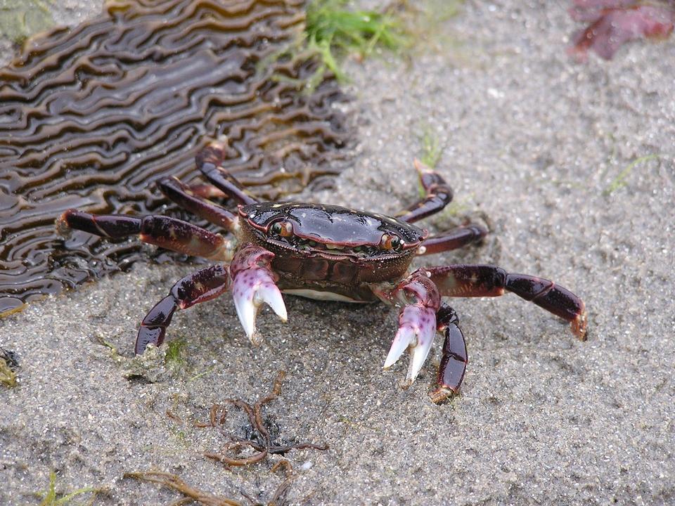 Free Purple crab